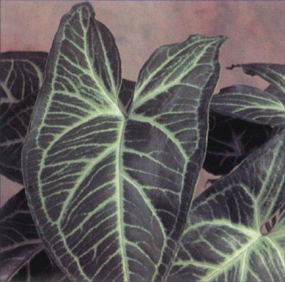 Arrowhead Vine: A Profile of a House Plant | HowStuffWorks on arrowhead vine, arrowhead house plant climbing, arrowhead plant varieties, arrowhead water, arrowhead plants for pests, arrowhead herb, arrowhead pond plant, arrowhead perennials, arrowhead nephthytis,