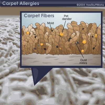 Why does carpet cause allergies in some