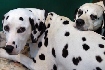 Are Dalmatians Good Family Dogs