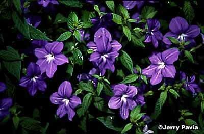Browallia Sapphire Flower A Profile Of An Annual Flower