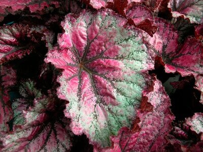 Coleus A Profile Of An Annual Flower Howstuffworks