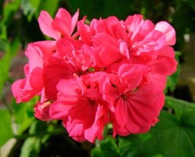 Geranium Zonal A Profile Of An Annual Flower Howstuffworks