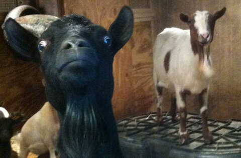 How Fainting Goats Work Howstuffworks