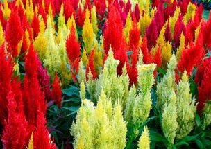 Red Annual Flowers Howstuffworks