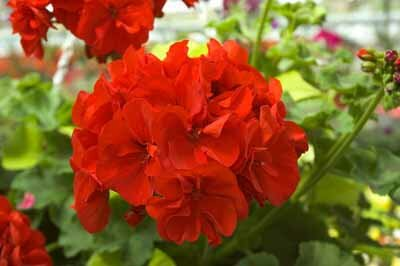 Uses For Annuals Howstuffworks