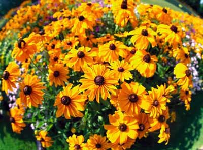 Yellow Coneflower Perennial Black Eyed