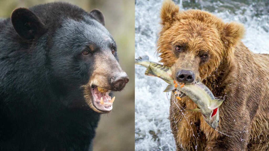 What's the Difference Between a Brown Bear and a Black Bear?