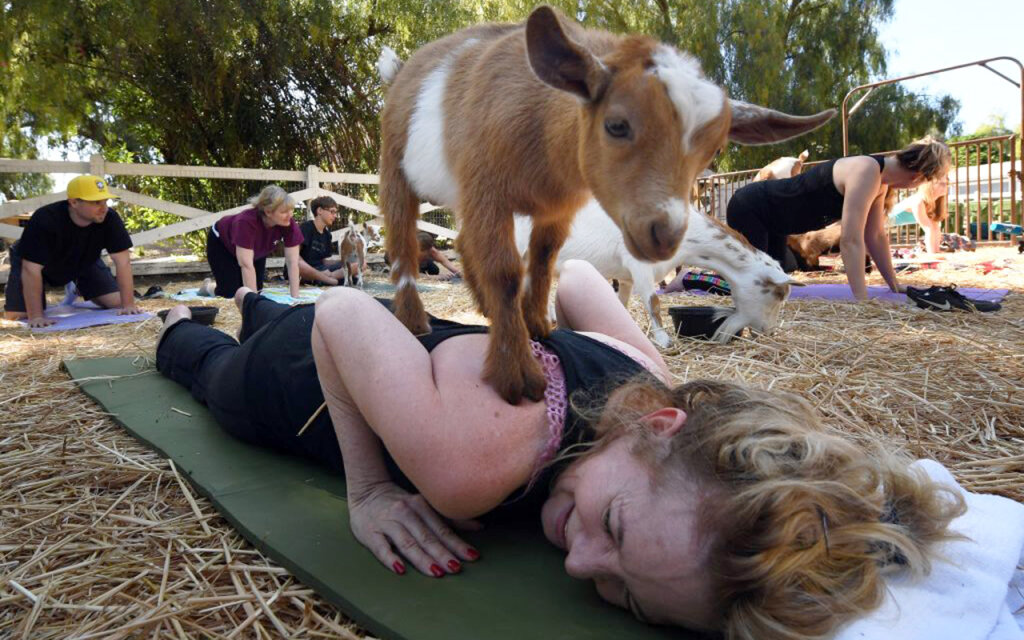 Goat Yoga Is Taking Zen to a Whole New Level