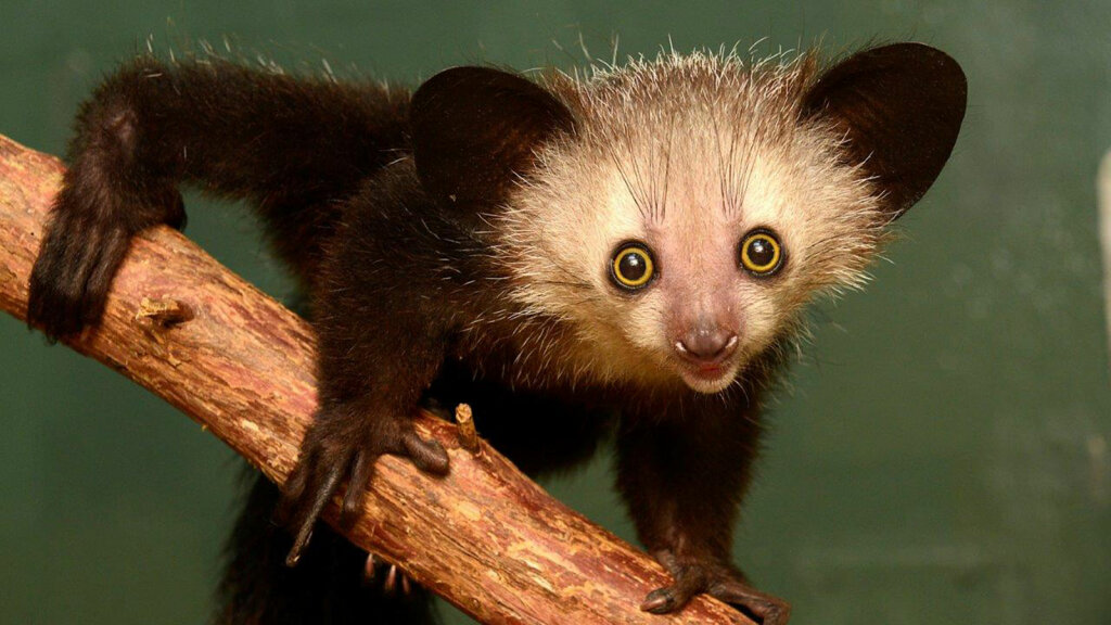 Daily Digest: 10 Wild Facts About the Aye-Aye
