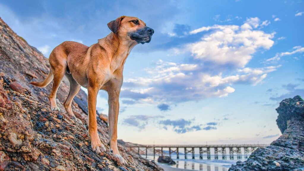 1. The Black Mouth Cur: The Sensitive but Strong Hunting Dog