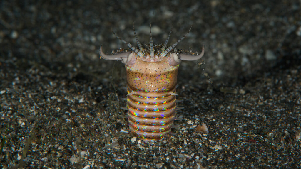 Even Poisonous Sea Creatures Can't Escape the Bobbit Worm's Jaws