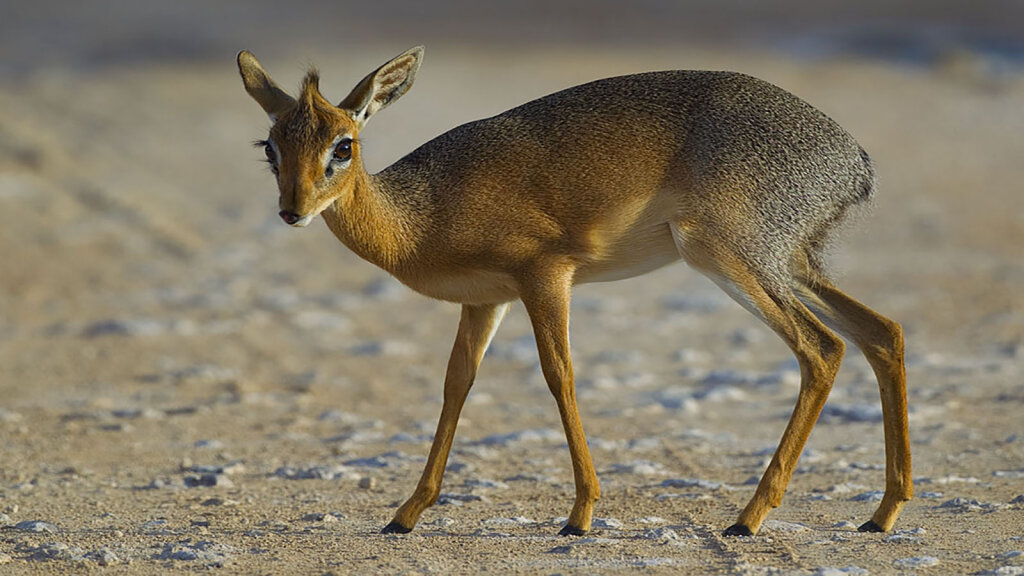 5. Dik-dik: The Tiny Antelope With the Embarrassing Name