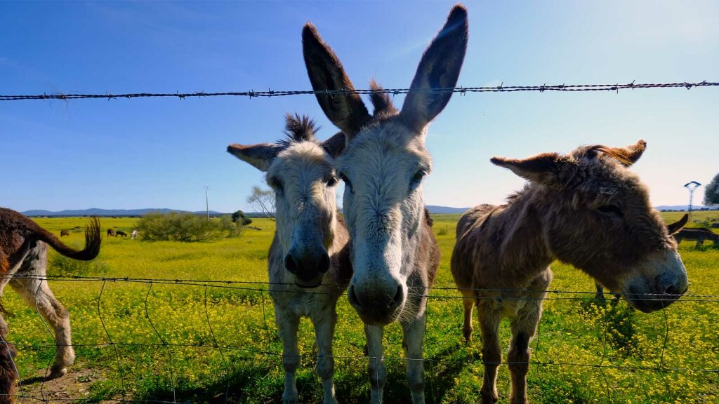 Are Mules, Burros and Jackasses All Donkeys?