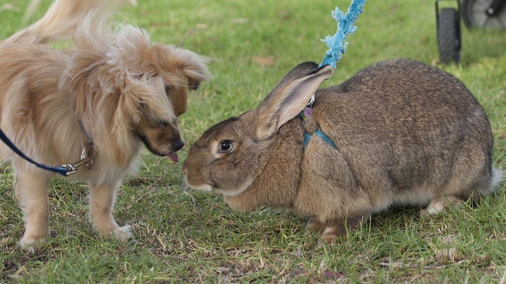 Daily Digest: Flemish Giant Rabbits Are Docile Snuggle Bunnies