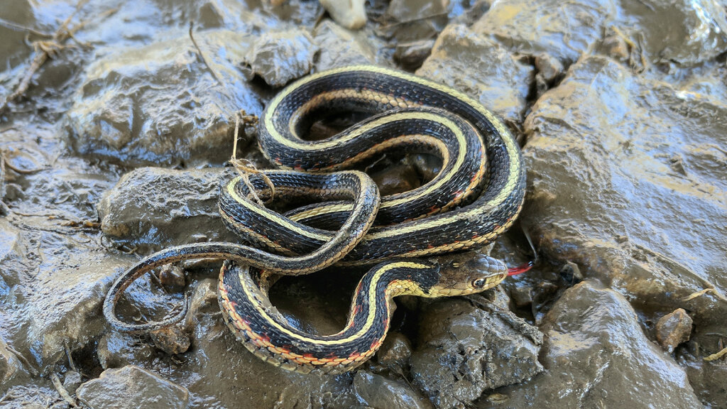The Harmless Garter Snake Is Your Garden\u0027s Best Friend
