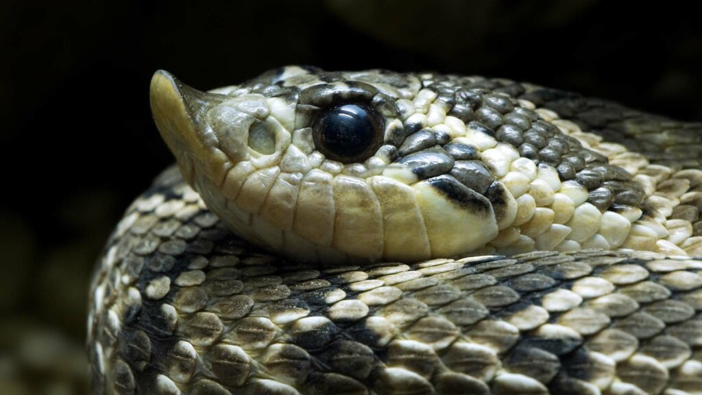 Hognose Snakes Play Dead Like Opossums