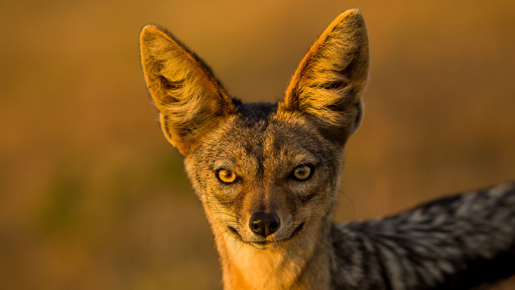 Jackals: Canine Survivors and Tricksters of Folklore