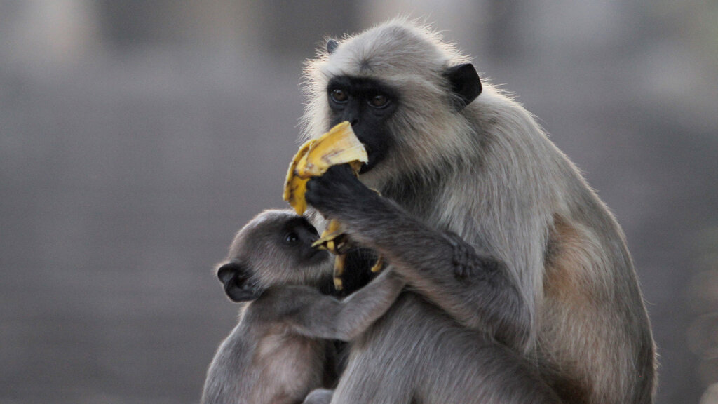 Langurs Are Tree Dwellers That Love to Monkey Around