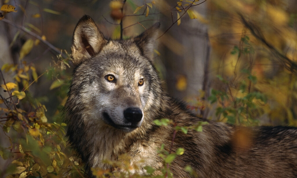 What Is a Lone Wolf?