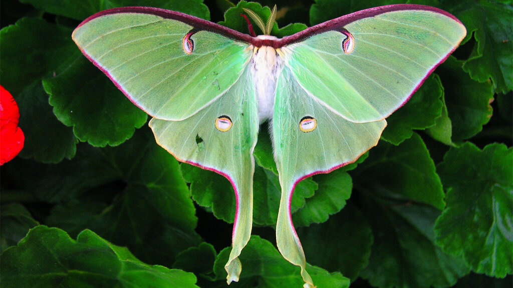 The Luna Moth Is Beautiful and Common — But Rarely Seen