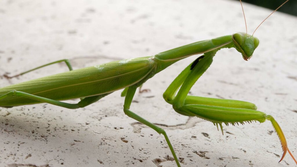 Daily Digest: Praying Mantis!