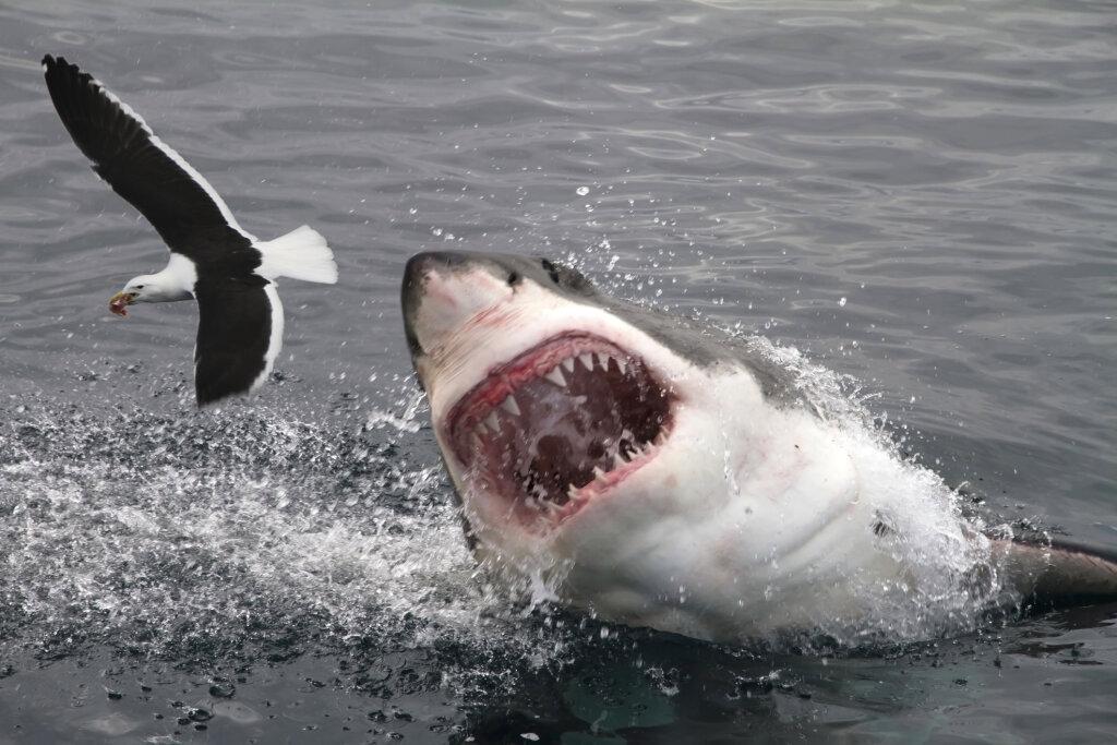 Dusky Shark Mouth