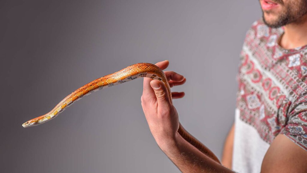 From the Rhino to the Corn: 10 Facts From the Wide World of Rat Snakes
