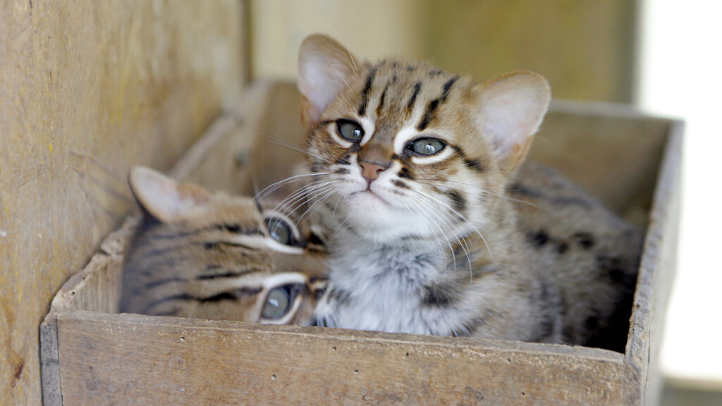 The Rusty-spotted Cat Is a Teeny-tiny Wild Cat — Plus 5 Other Feral Felines