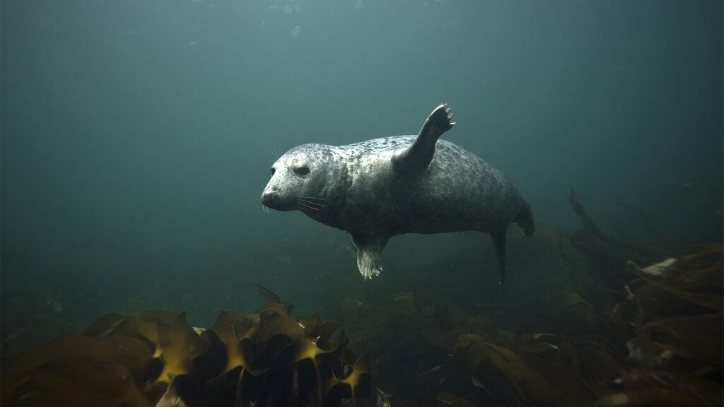 Seals Clap Underwater to Communicate