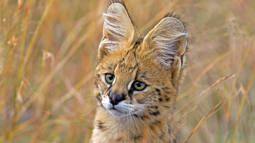 Daily Digest: The Serval Stands Tall and Jumps Like A Champion