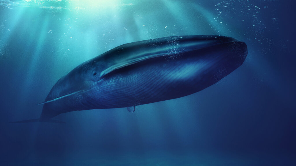 The Blue Whale Bigger Than Megalodon Howstuffworks