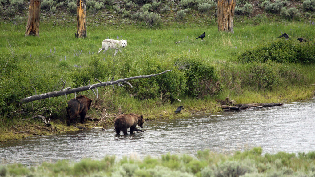 Inside Yellowstone's 'Zone of Death' Crimes Can't Be Prosecuted