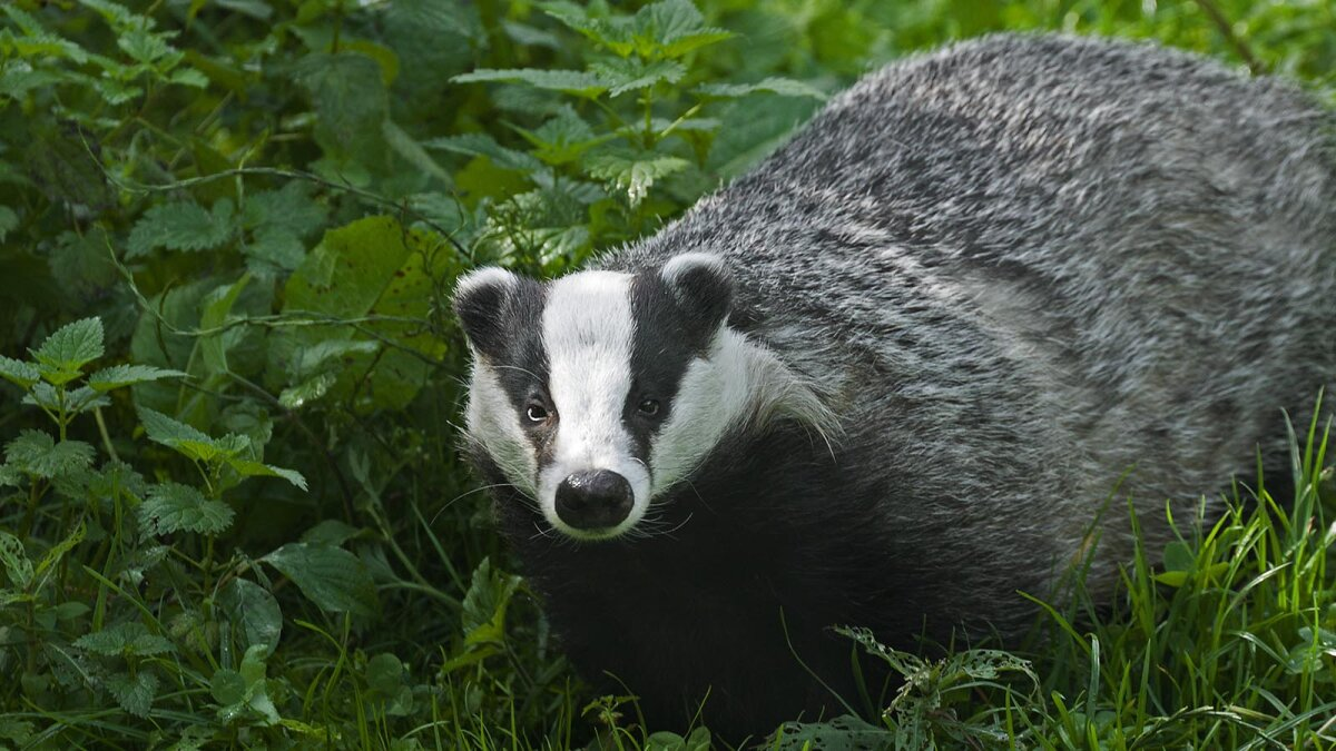 Can You Dig It? If You're a Badger, You Can
