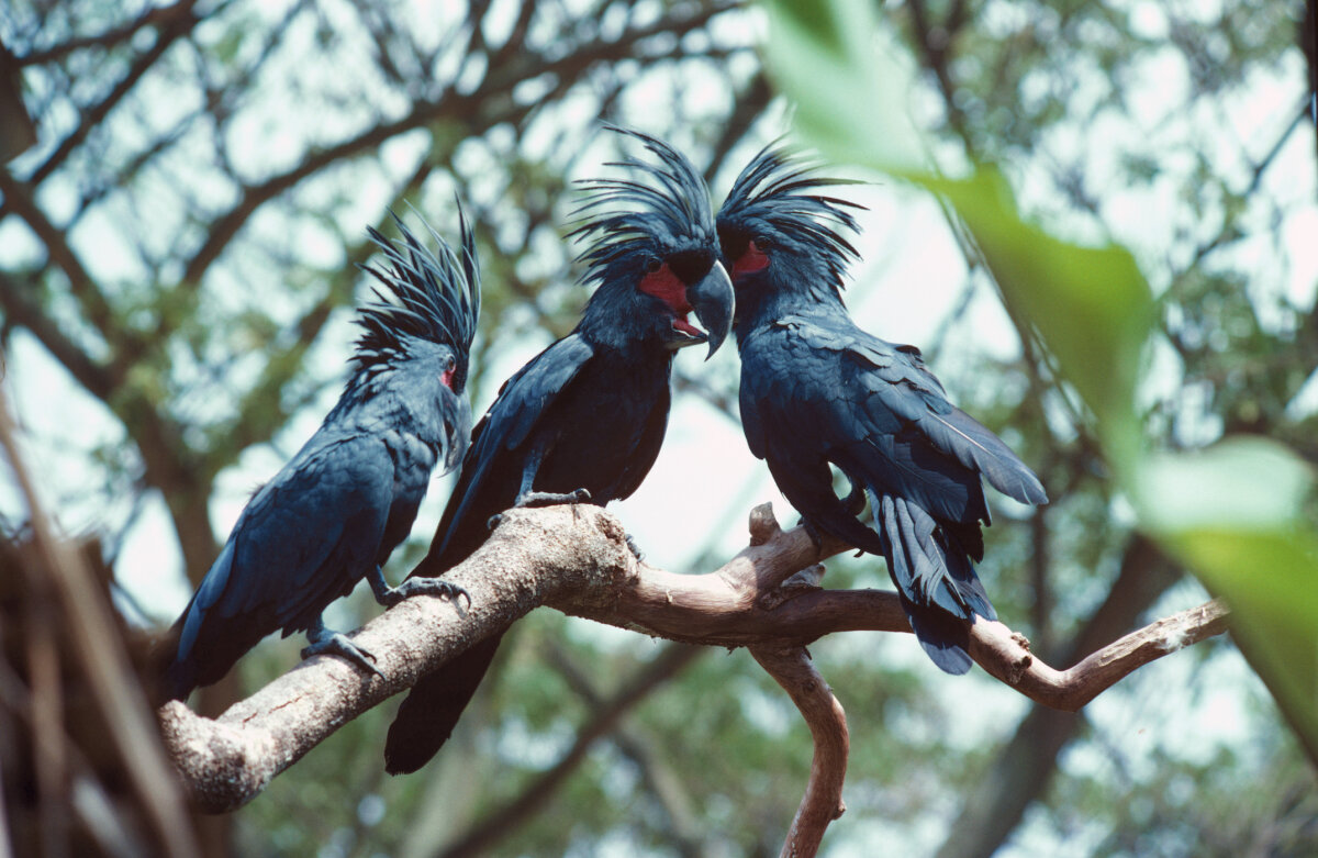 Male Cockatoos Woo Their Ladies With Impressive Drum Solos