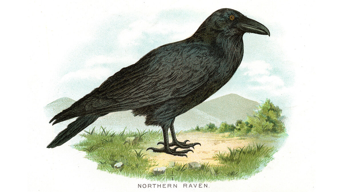 American Crows and Ravens: What's the Difference?