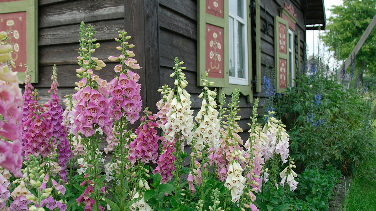 Foxglove: The Beautiful Bloom That's Good (and Bad) for Your Heart