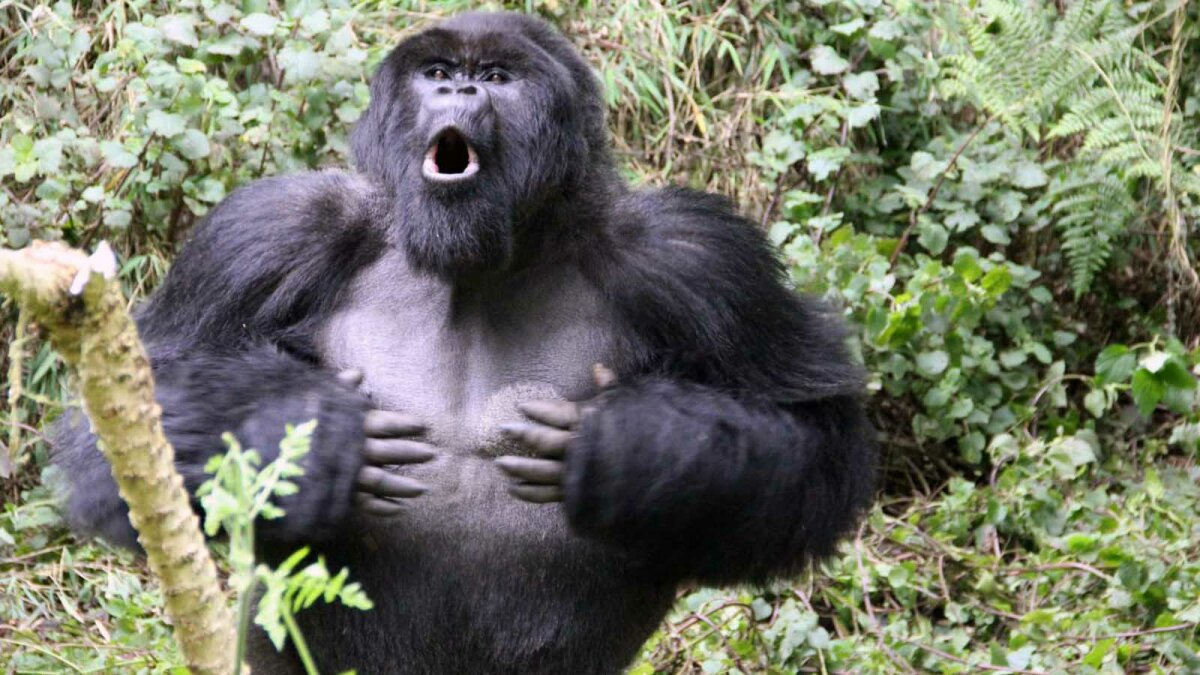Why Do Gorillas Beat Their Chests?
