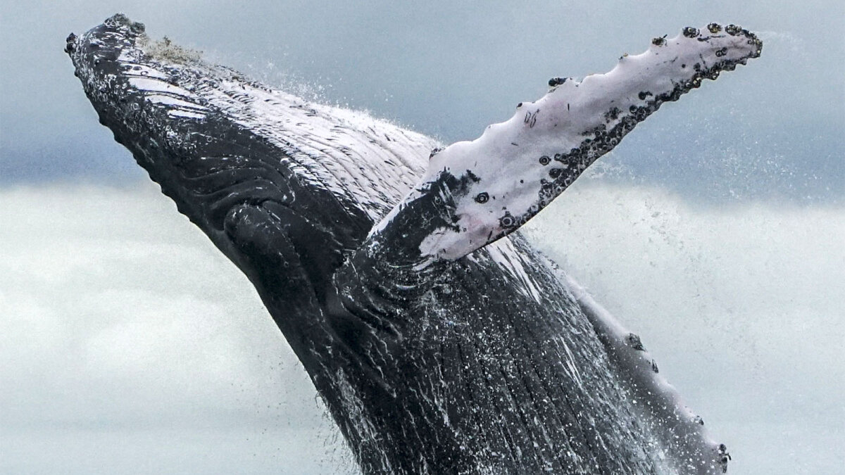 Humpback Whales Have Made an Amazing Comeback from Extinction