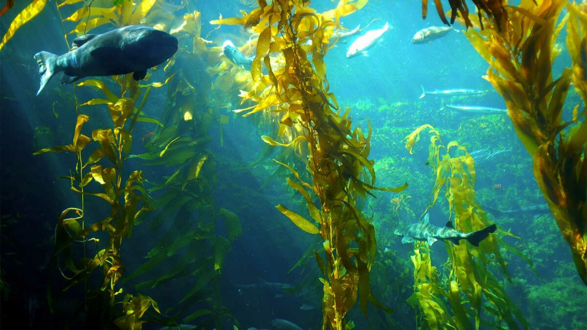 Could Giant Sea Kelp Be the Next Biofuel Source?