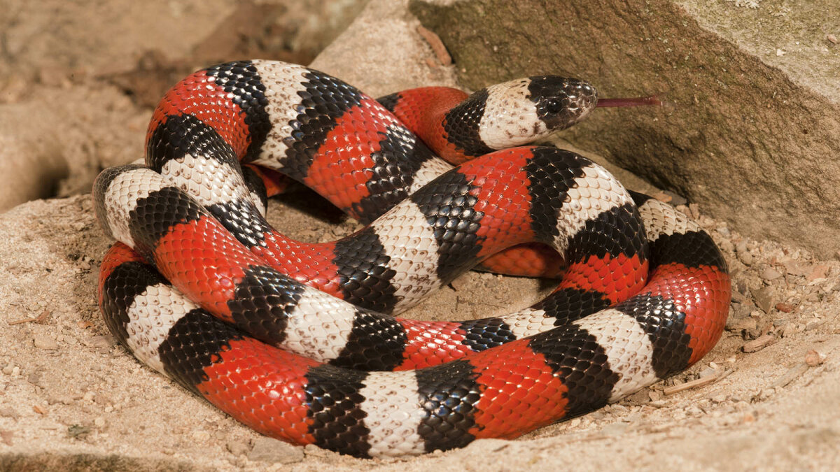 Milk Snakes: Colored for Danger, but Totally Harmless (and Non-dairy!)