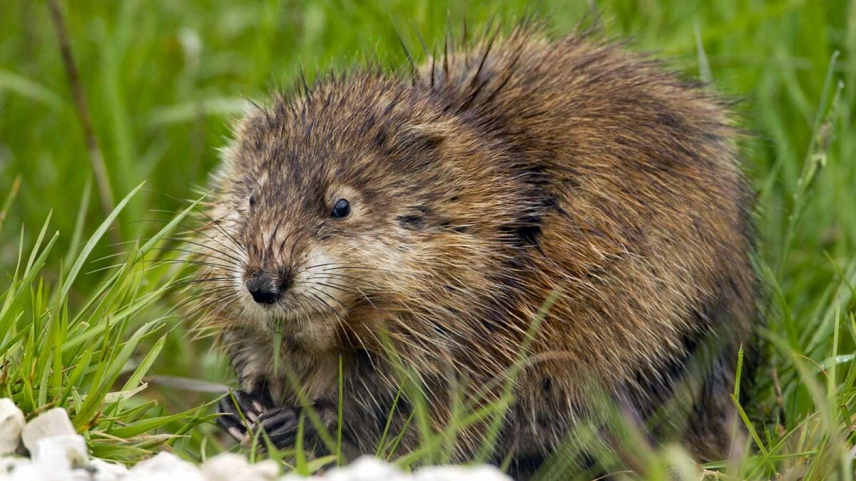 Muskrats Are Fat Little Rodents With a Signature Smell