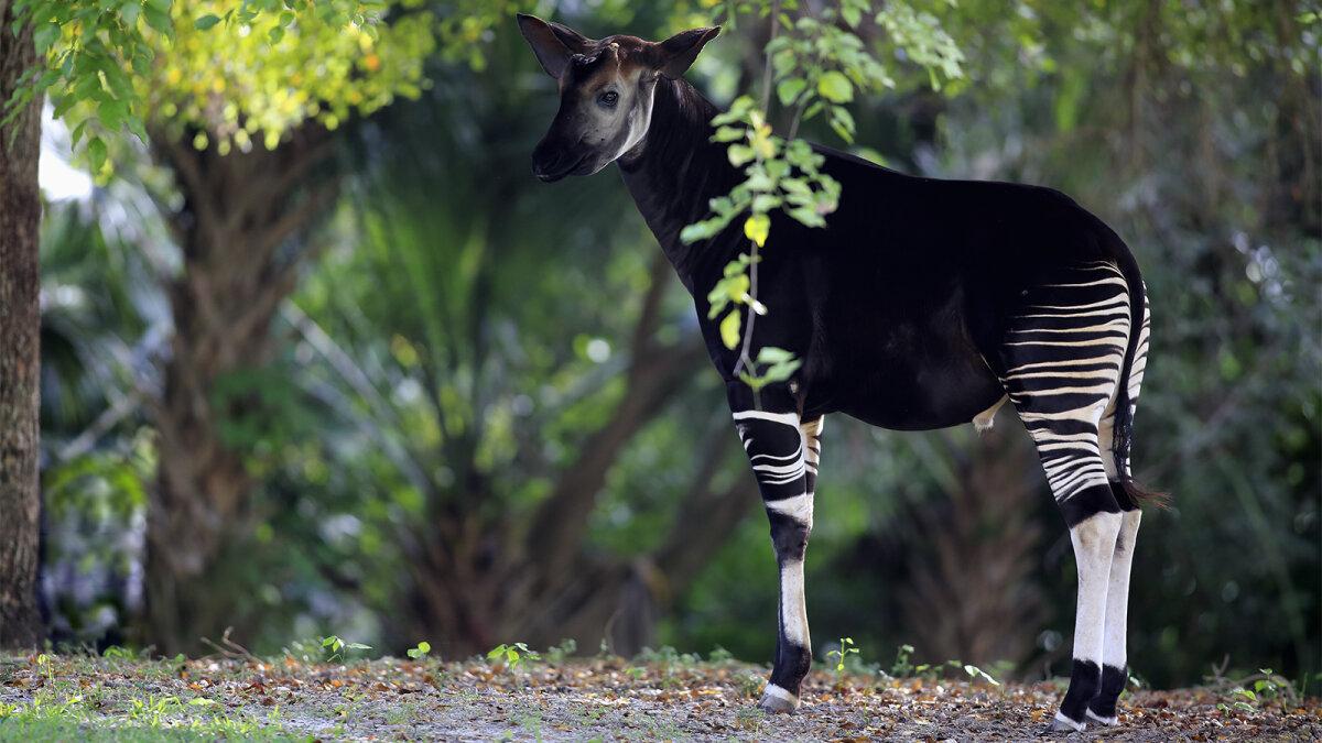 Is It a Zebra? A Giraffe? No, It's an Okapi