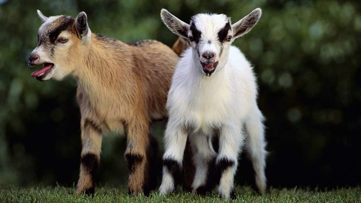 Pygmy Goats Angling to Take Dog's Place as 'Man's Best Friend'