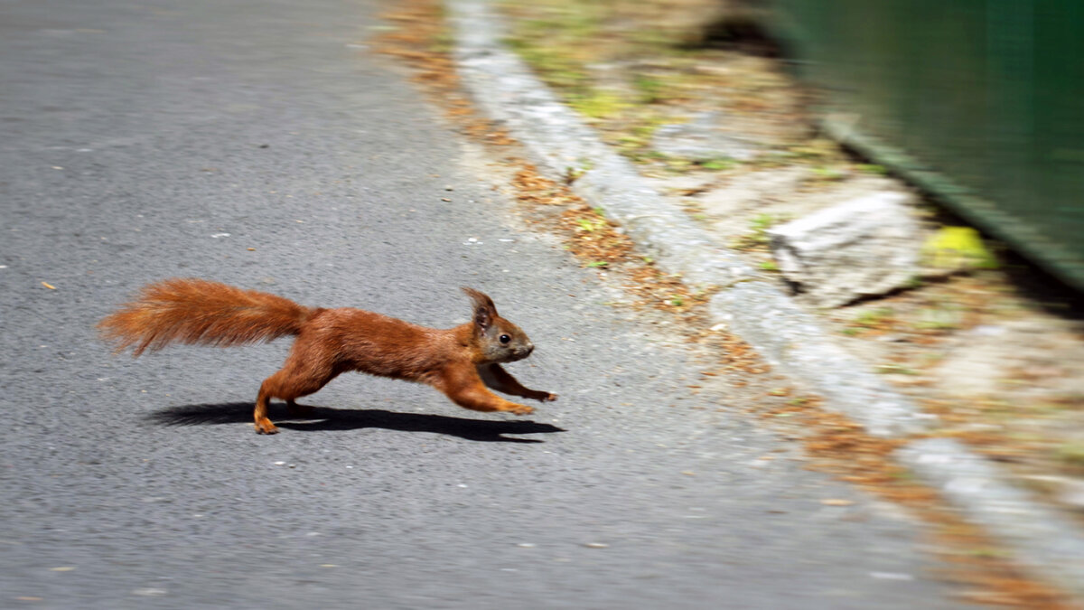 Squirrels Are Hardwired to 'Dance' When a Car's Coming