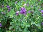 Alfalfa: Herbal Remedies
