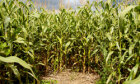 5 Amazing Corn Mazes