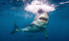 Could ancient Aztecs have held the secret to fending off shark attacks?