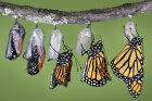 How Butterflies Work