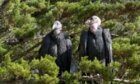 Why do California condors have bald heads?