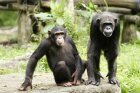 Are chimpanzees evolving in the wild?